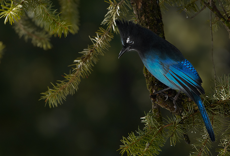 Steller's Jay in Shade